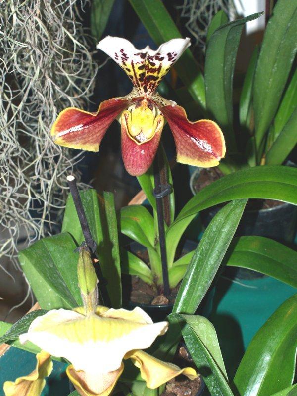 Orchidea Menton