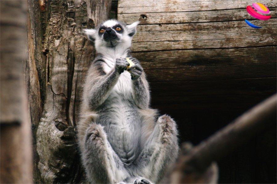 zoo di pistoia lemure