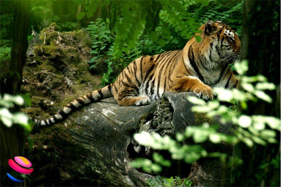 zoo di pistoia tigre