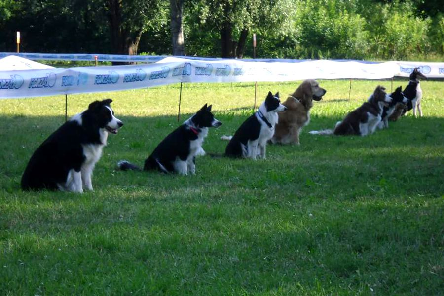 Dog and roll border collie