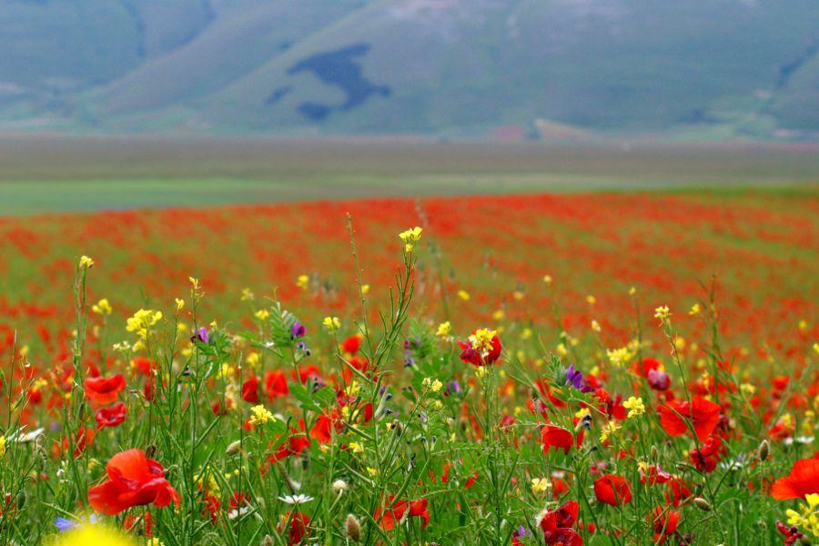 Castelluccio di Norcia fioritura
