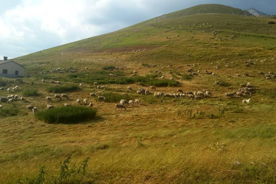 Greggi di pecore al pascolo a Forca Presta