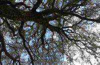 Luogosanto quercia di Crisciuledda