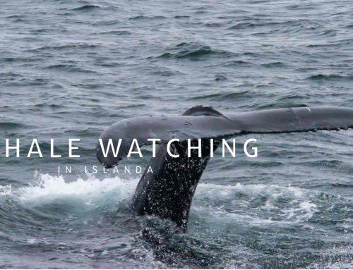 Whale Whatching in Islanda: che emozione avvistare le balene