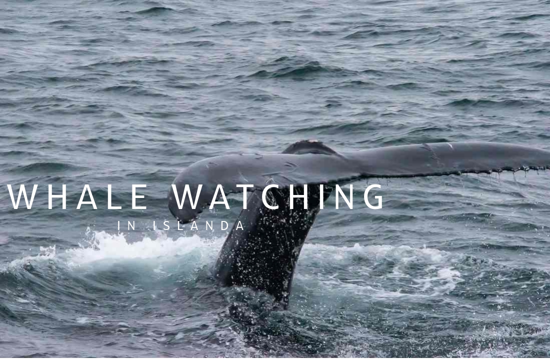 Whale Watching in Islanda
