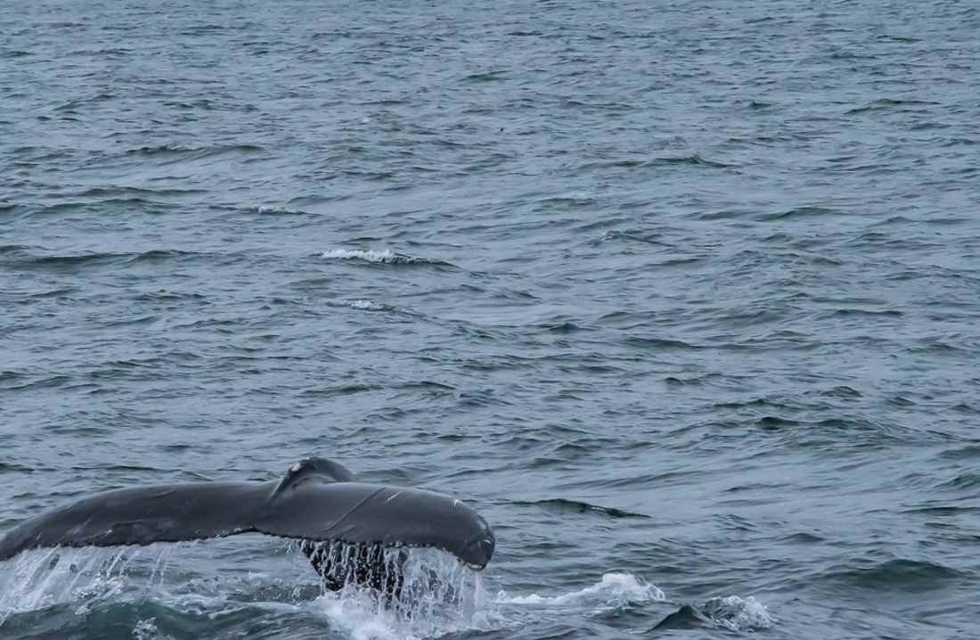 whale watching coda di balena